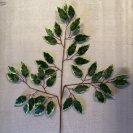 Ficus trojkonár gr/yel.  / 100001