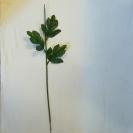 Stonka chryzantéma 3-listová / 1117